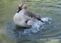 swimming-duck