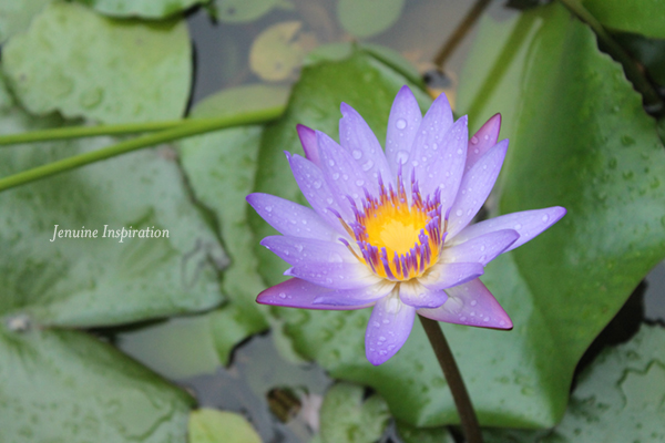 purple-petals2